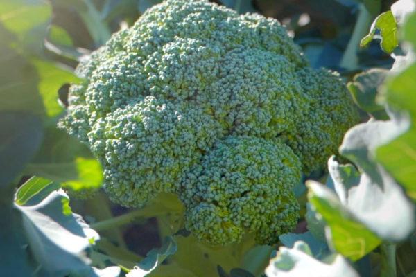 juanjor-brocoli-1-1100
