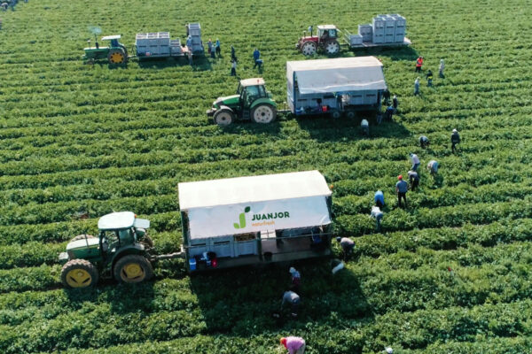 juanjor-melon-recoleccion-tractor
